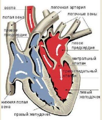 Гипотеза Ермошкина В.И. о механизме  аритмии сердца