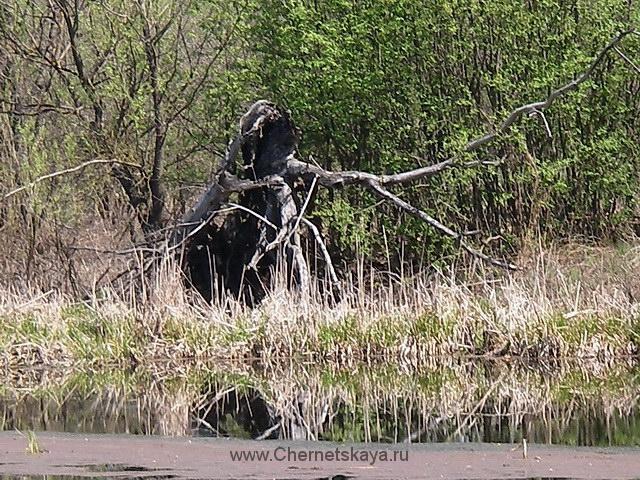 Кикимора болотная и домашняя