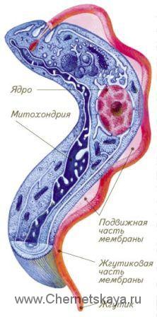 Трипаносомка против рака